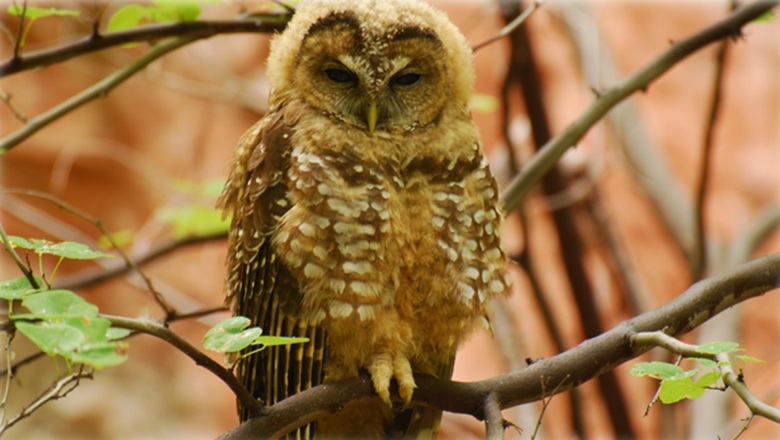 The Mexican Spotted Owl Calls The Grand Canyon Home